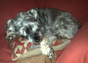 Love   miniature schnauzer snoozing on a cushion   best dog ever