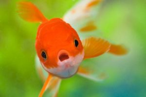 Anxious | A worried looking goldfish swims toward the camera